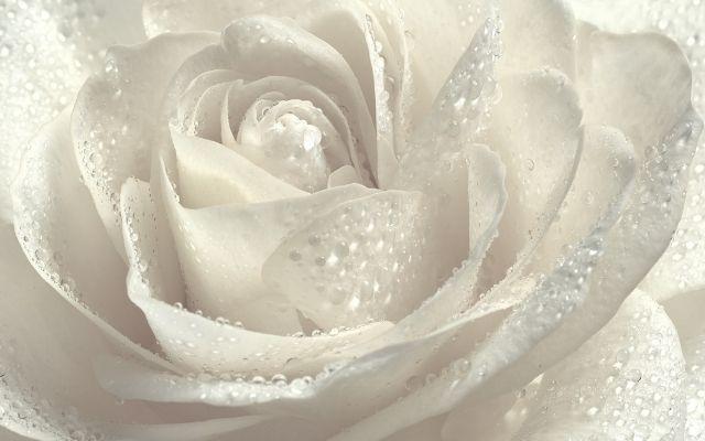 白薔薇の待ち受け